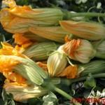 Цветы тыквы и кабачков