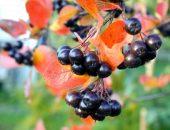 Простые рецепты варенья из плодов аронии