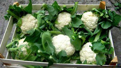 Как хранить цветную капусту правильно в домашних условиях: можно ли и как сохранить в холодильнике и погребе