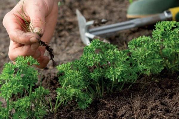 Как правильно пропалывать морковь