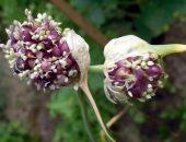 Посадка семян из стрелок чеснока