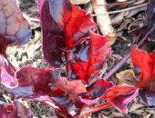 Почему у свеклы краснеют листья