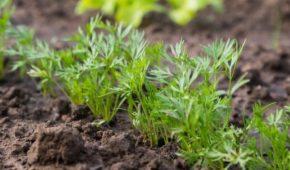 Миниатюра к статье Спирт в помощь: как замочить семена моркови в водке перед посадкой?