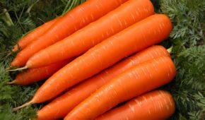 Миниатюра к статье Подробный обзор позднего сорта моркови «Королева осени»