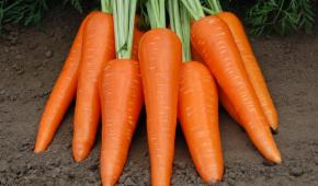 Миниатюра к статье Любителям голландской селекции: что за сорт моркови Абако и каковы его характеристики?