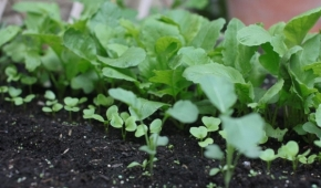 Миниатюра к статье Страшны ли холода для овоща? Боится ли редька осенних заморозков и весенних?