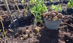 Миниатюра к статье Сроки сбора урожая картошки. Когда копать клубни в разных регионах?