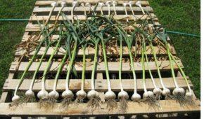Миниатюра к статье Подготавливаем овощ к хранению:как сушить чеснок после выкапывания и сколько по времени это делать?