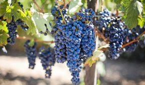 Миниатюра к статье Как сохранить виноград на зиму свежим