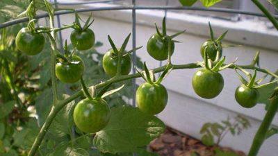 Зеленые помидоры черри