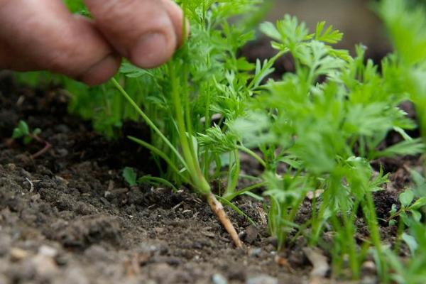 Правильная обработка моркови керосином от сорняков