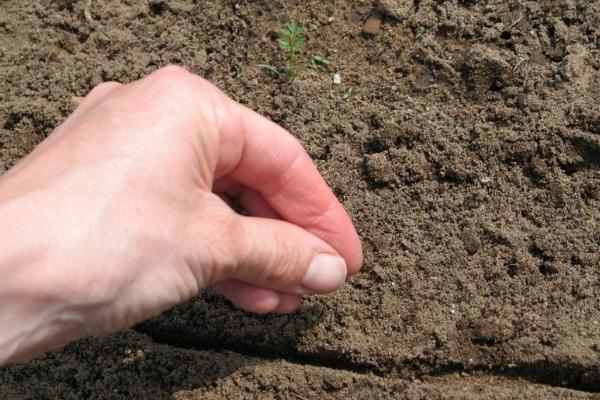 Как сажать морковь семенами в открытом грунте, чтобы не прореживать: способы как лучше и правильно посеять овощ, чтобы быстро взошел