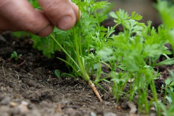Морковь посадка и уход в открытом грунте в ленте