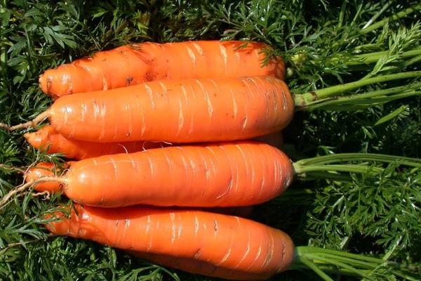 Морковь Нантская описание посадка и уход