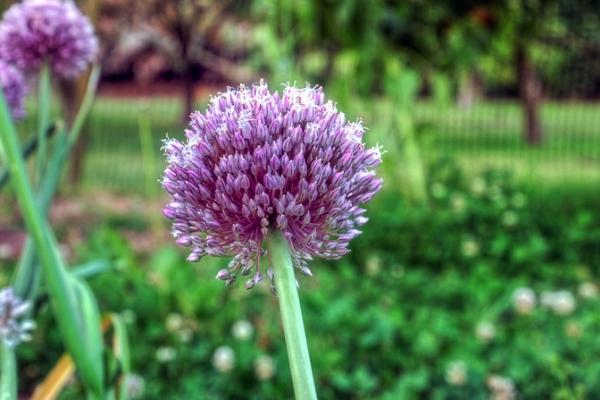 Цветки чеснока
