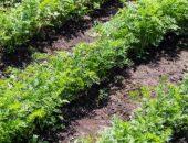Последний срок посадки моркови в открытый грунт