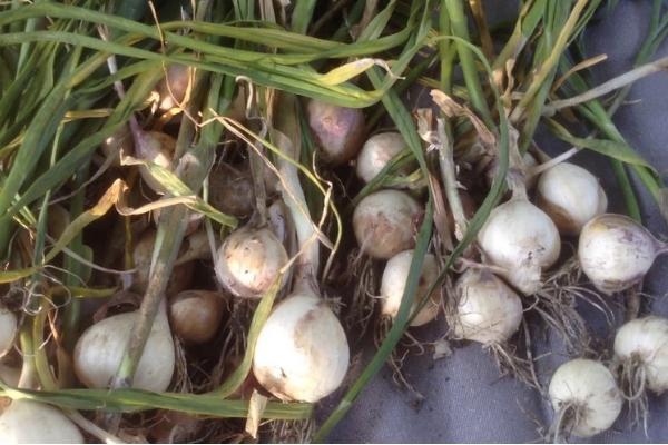 Как посадить чеснок из семян