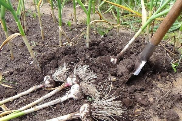 Когда убирать озимый чеснок в Сибири: сроки выкапывания