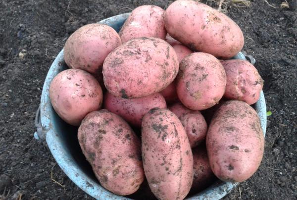 Картофель Ред Скарлет - Сайт о картофеле