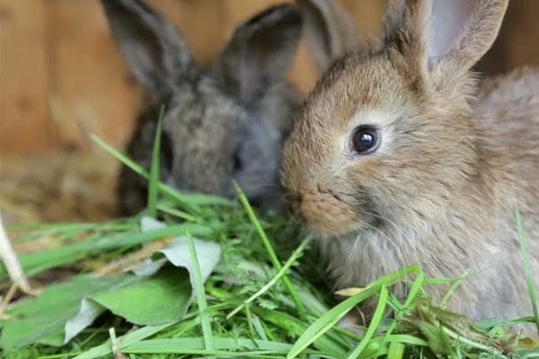 Можно ли кролику давать редьку