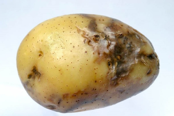 Заболевание картофеля фитофтора
