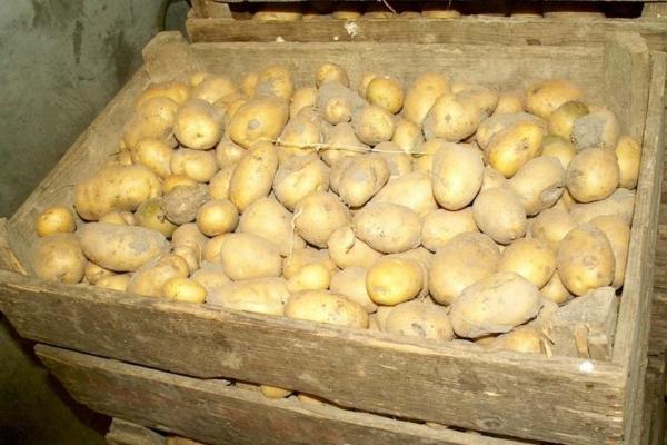 Как хранить картошку зимой в квартире и погребе с подвалом