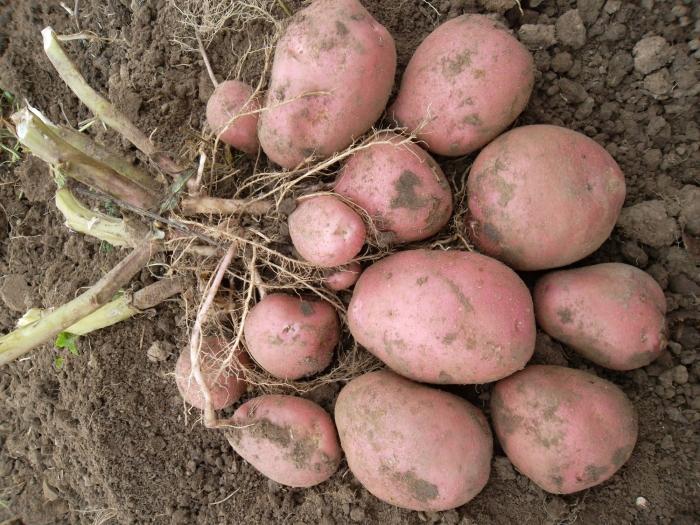 Лучшие сорта среднеспелого картофеля: посадка и уход