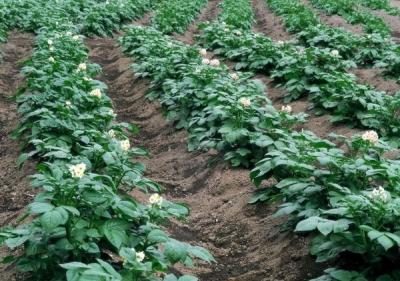 Норма высева картофеля