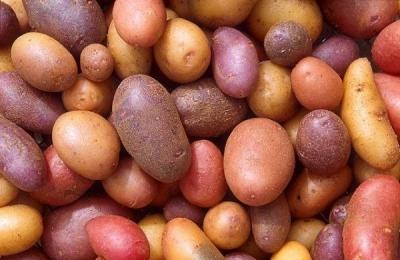 Картофель славянка: описание и особенности выращивания