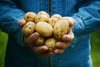Ростки картофеля польза и вред