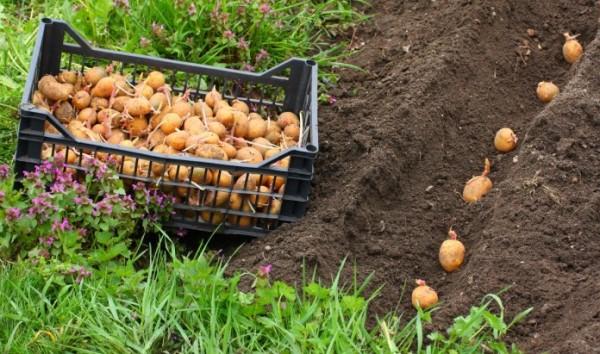 Метод посадки картофеля по картелеву