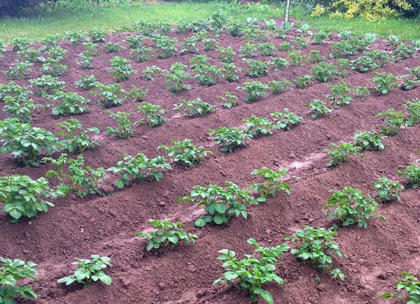Можно ли после картошки сажать клубнику