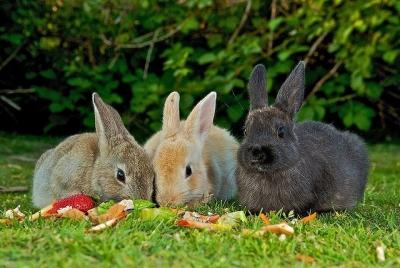 Можно ли давать кроликам ботву свеклы или нет