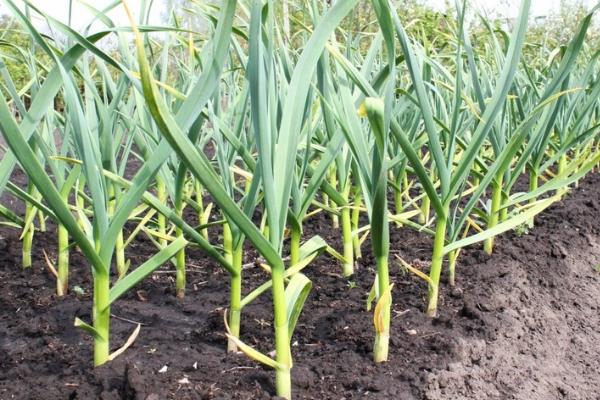 Выращивание чеснока как бизнес рентабельность дела