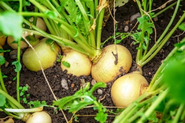 Правильное выращивание репы