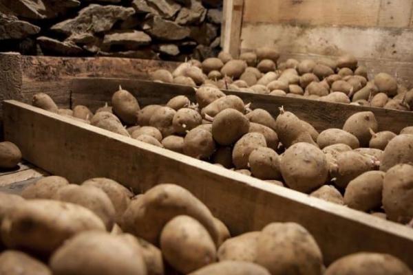 При какой температуре хранится картофель зимой