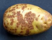 Как бороться с паршой на картофеле