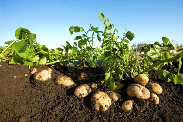 Почему в картошке коричневые прожилки, почему картофель пустой внутри?