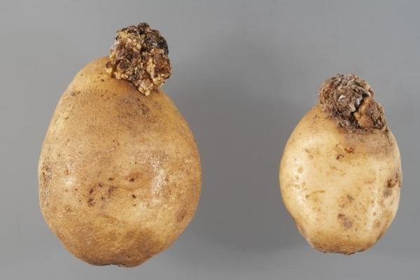Что такое рак картофеля