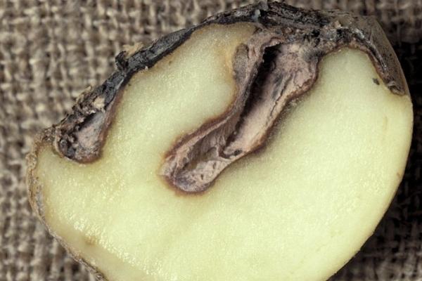 Сухая фомозная гниль картофеля. Меры борьбы