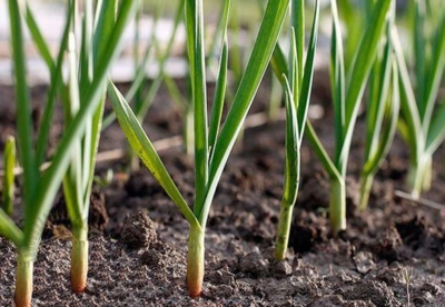 Как правильно посадить чеснок осенью: сроки и правила посадки