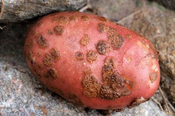 Болезни картофеля Борьба с болезнями картофеля