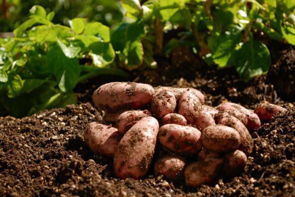 Когда и в каких регионах возможна посадка картофеля под зиму и как ее осуществить?