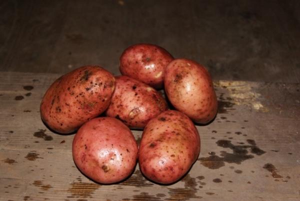 Любава картофель характеристика