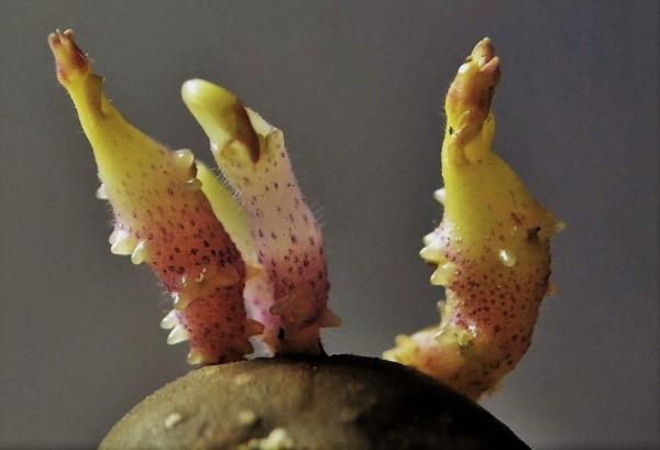 Картофельные ростки для лечения коленных суставов
