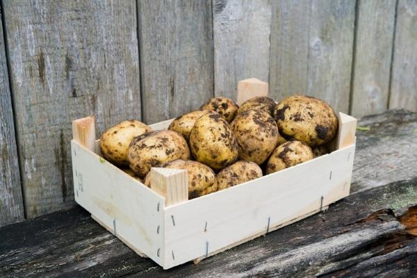 Лучшие сорта картофеля для хранения на зиму