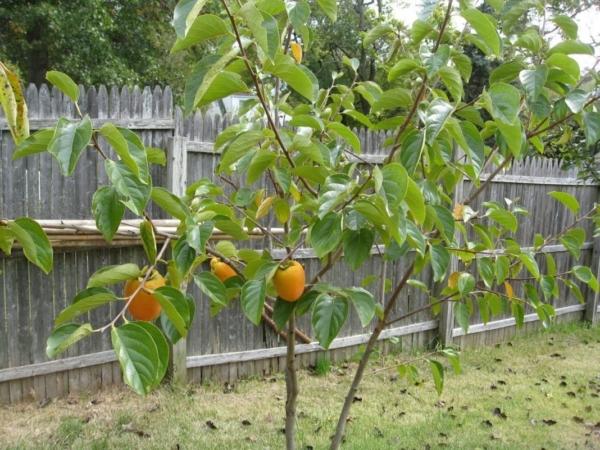Как и где растет хурма в России? Полезные свойства, особенности ухода и размножения. Где и как растет хурма – интересное о полезном фрукте