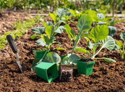 Муравьи едят капусту: что делать, как избавиться, способы борьбы