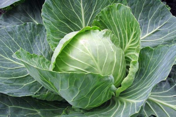 В каких случаях белокочанная капуста может нанести вред? || Когда нельзя есть капусту