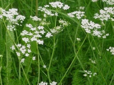 Что такое тмин и семена укропа
